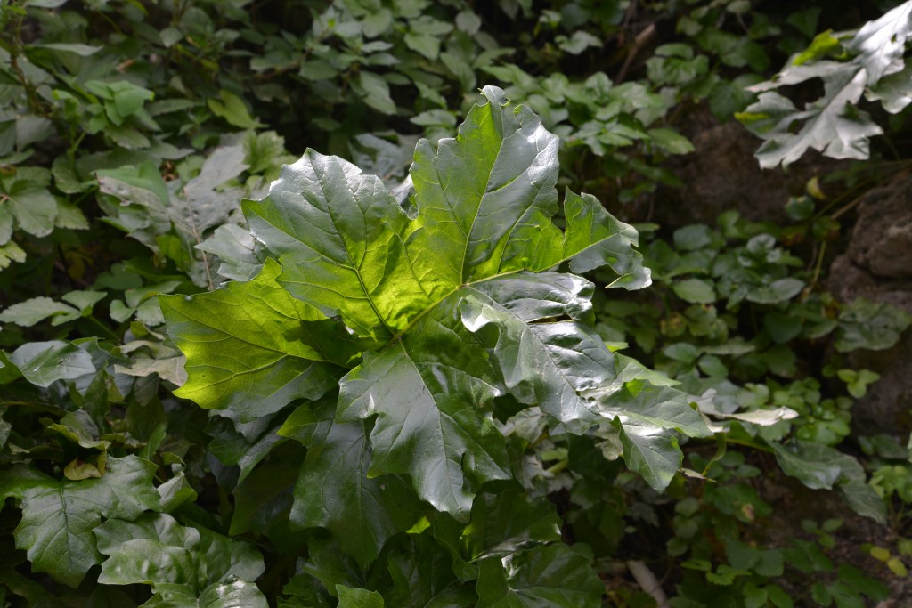 Acanthus in the natural environment